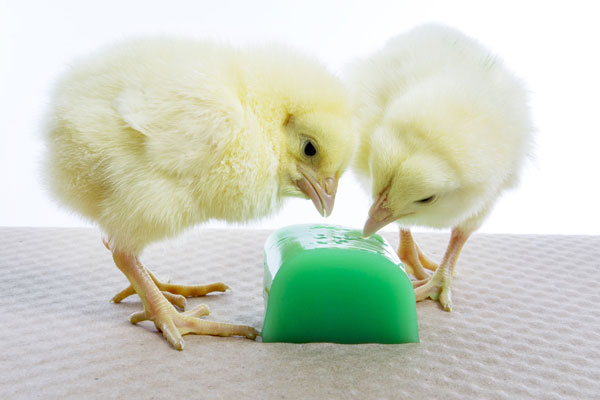chicks eating product